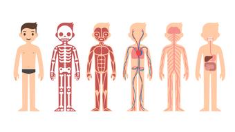 Биология человека: что у нас внутри